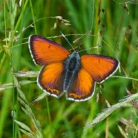 Lilagold-Feuerfalter_Lycaena_hippothoe