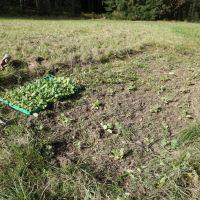 Pflanzung1_Sichardt